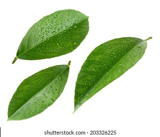 Lemon leaves with drops isolated on white