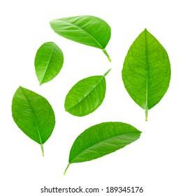 Lemon Leaves isolated on white