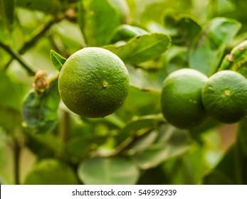 Lemon. Lemons hanging on tree. Growing Lemon