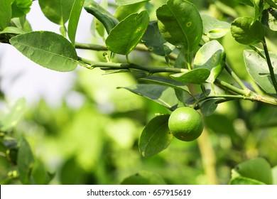 Lemon, lime fresh green on tree.