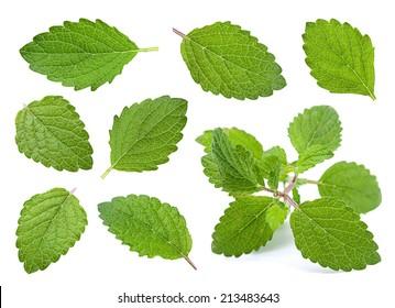Lemon melissa leaf closeup isolated on white