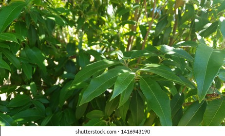 Lemon Myrtle tree,  Australian Native Plant