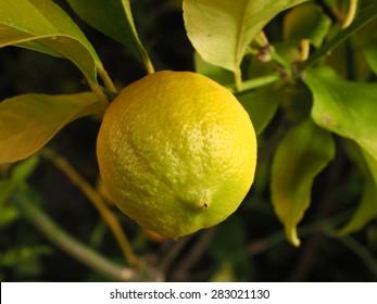 Lemon on a branch in a garden in Melbourne, Australia