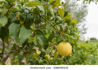 Lemon on lemon tree