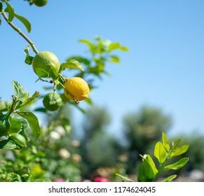 Lemon on a tree with blue sky as background.