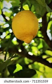 Lemon on the tree in the garden