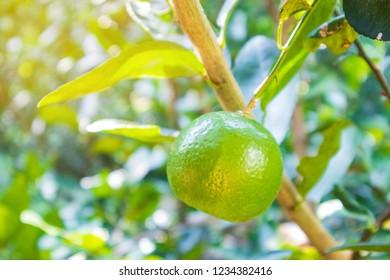 lemon on tree in morning.