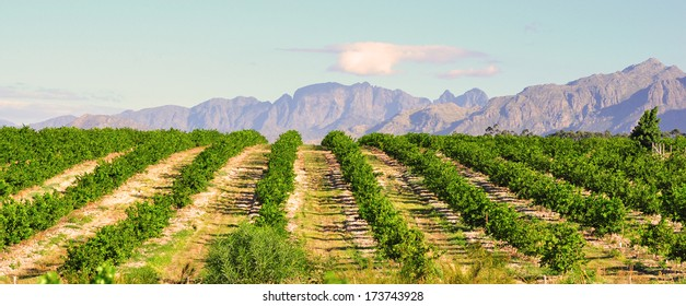 Lemon orchard and mountain background, South Africa Western Cape
