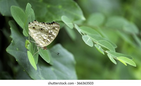 Lemon Pansy butterfly on the green leaf / Style blur and select focus