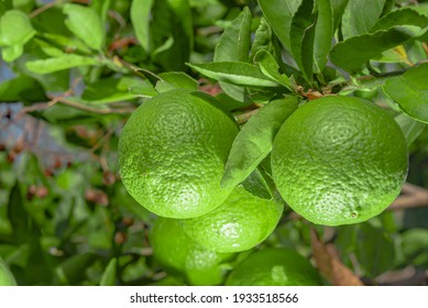 Lemon is a popular fruit as a beverage for health care use as it contains vitamin C.