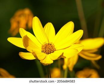 Lemon Queen flowers in full bloom in summer close up shot
