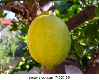 Lemon ripening in the tree. Greenish color before collection when they turn yellow