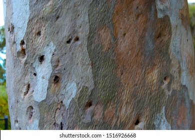 Lemon scented gum ,eucalyptus citriodora ,Corymbia citriodora has smooth, pale, uniform or slightly mottled bark, white to coppery in summer peeling off the tall scented tree in spring in flakes.