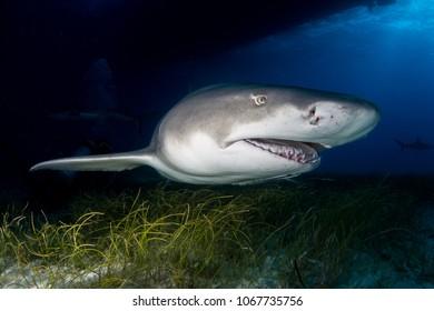 Lemon shark Bahamas