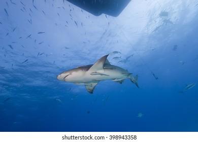 Lemon shark from below in clear blue water.