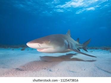 Lemon shark in blue water.