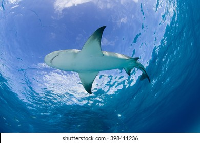 Lemon shark close to the surface in clear blue water with sun in the background.