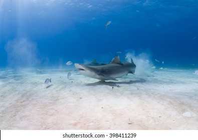 Lemon shark eating fish in clear blue water.