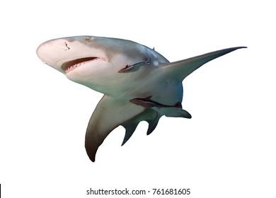 Lemon Shark isolated on white background