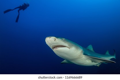 Lemon shark looks to scuba diver silhouette with blue ocean background