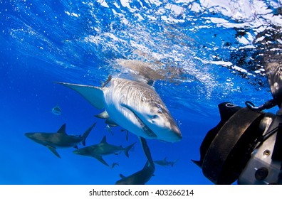Lemon shark with lots of caribbean reef sharks close to the surface.