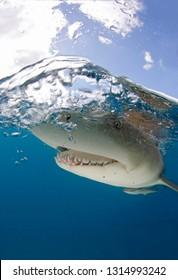 Lemon Shark (Negaprion brevirostris) Close-up, Split Shot at Surface. Tiger Beach, Bahamas