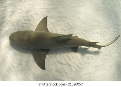 A lemon shark (Negaprion brevirostris) passes underneath along the ocean floor