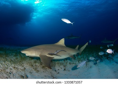 Lemon Shark (Negaprion brevirostris) with Some Caribbean Reef Sharks in the Background. Tiger Beach, Bahamas