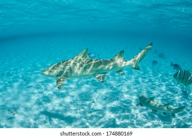 A Lemon shark (Negaprion brevirostris) swims through the warm, clear water of Bora Bora's lagoon in French Polynesia. This species is found in both the Atlantic and the Pacific Oceans.