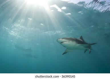 A lemon shark (Negaprion brevirostris) swims above as a burst of sunlight breaks through the ocean's surface