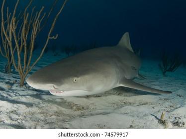 Lemon Shark (Negaprion brevirostris) swims along the sand at dusk in the Bahamas.