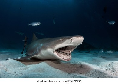 Lemon Shark on Tiger Beach of Bahamas