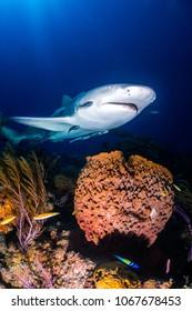 Lemon shark over sponge