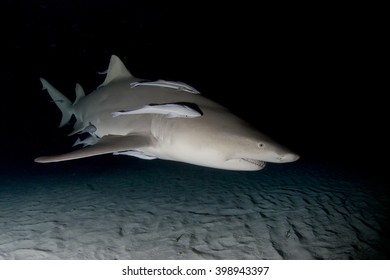 Lemon shark with remoras by night.