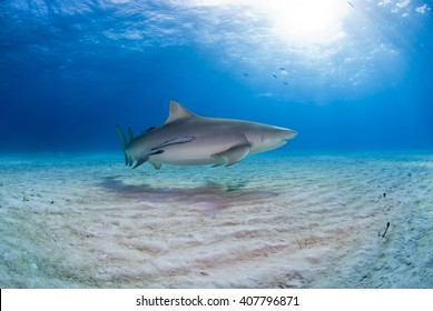 Lemon shark with remoras close to the sand in clear blue water with sun in the background.