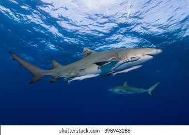 Lemon shark with remoras from the side in clear blue water.