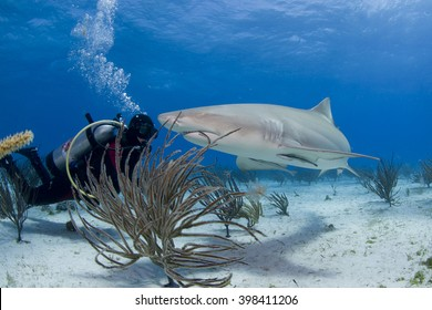 Lemon shark with scuba diver in clear blue water.