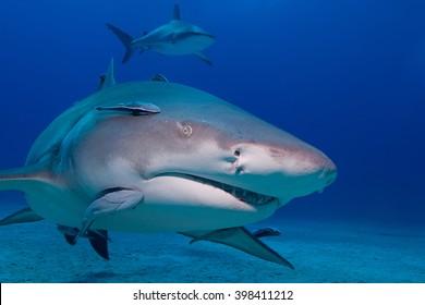 Lemon shark showing sharp rows of teeth head-on in blue water