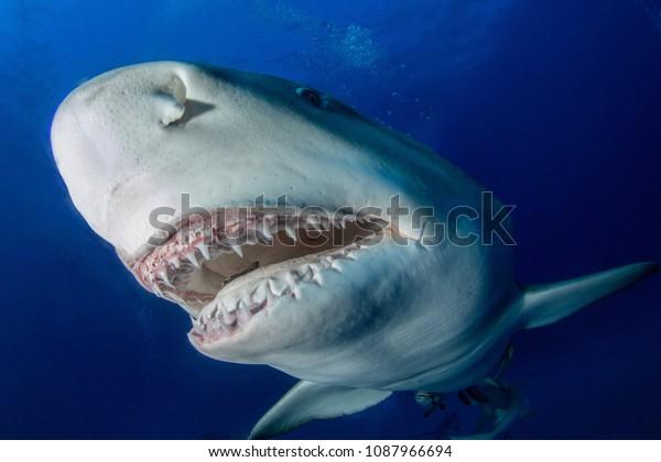 Lemon Shark Shows Jaws Camera Shot Stock Photo (Edit Now