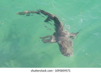 Lemon Shark Swimming in a Clear Ocean