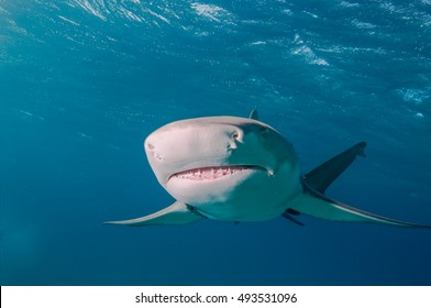 A lemon shark swimming directly towards the camera with a clear view of the ampullae of lorenzini
