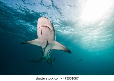 A lemon shark swimming over head with a sunburst breaking through the surface of the blue ocean