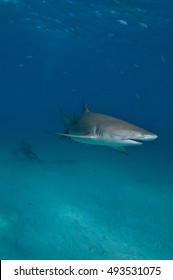 A lemon shark swimming through a blue ocean with a diver in convoy