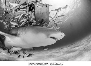 Lemon shark under the bait box in black and white with jack fish and sunbeam in background, Tiger beach, Bahamas