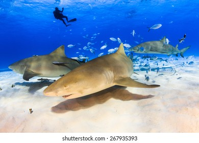 Lemon sharks close up with diver in background at Tiger beach, Bahamas