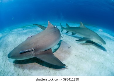 Lemon sharks close to the sand in clear blue water.
