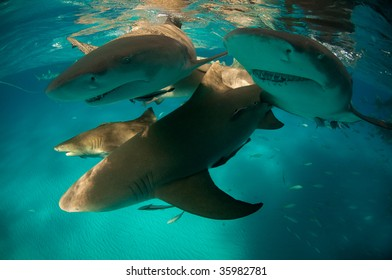 Lemon Sharks near the water surface, Bahamas, 2008