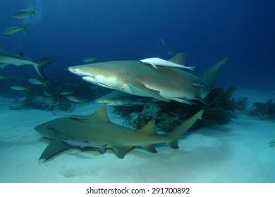 Lemon Sharks (Negaprion brevirostris)