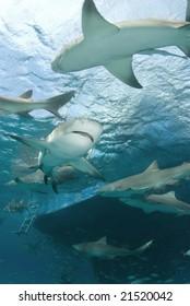 Lemon Sharks (Negaprion brevirostris) circle behind a boat looking for food