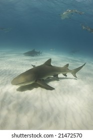 Lemon Sharks (Negaprion brevirostris) cruise through the ocean in search of food
